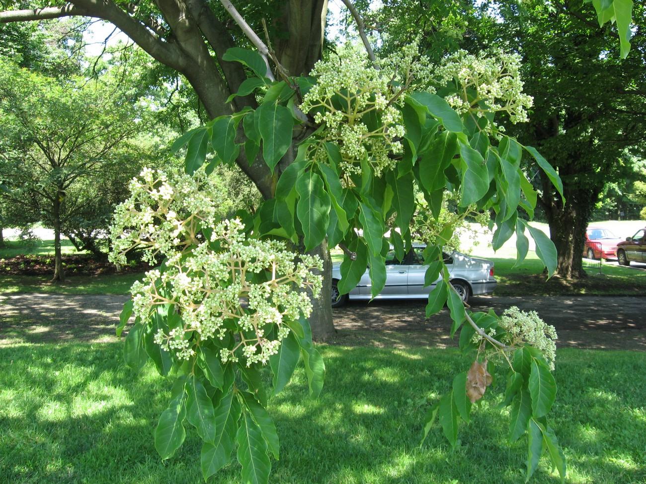 100+ [ Arbre Exotique Rustique ]   Chantilly 6 Plantes Très ... pour Piscine Pepiniere