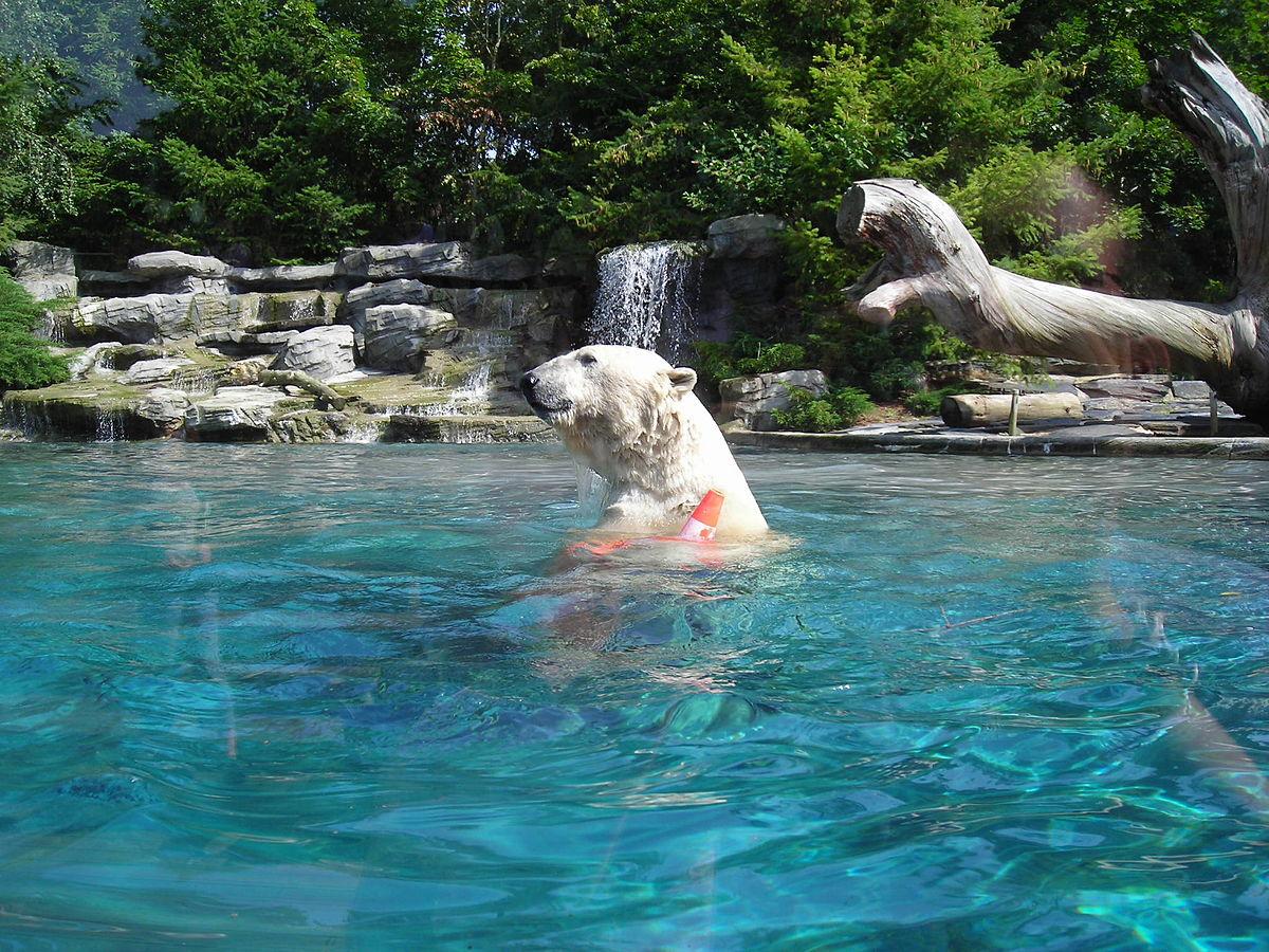 File:ours Blanc Au Zoo De La Flèche.jpg - Wikimedia Commons concernant Piscine De La Fleche