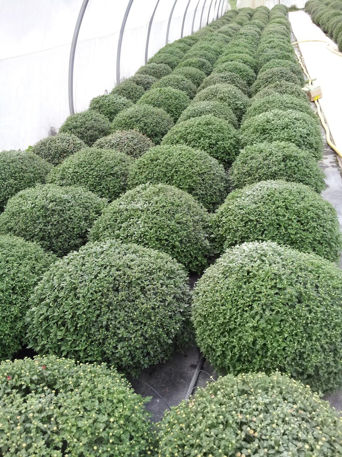 Fleurs, Plantes, Etc...: La Pépinière Horticole M Jardin encequiconcerne Piscine Pepiniere