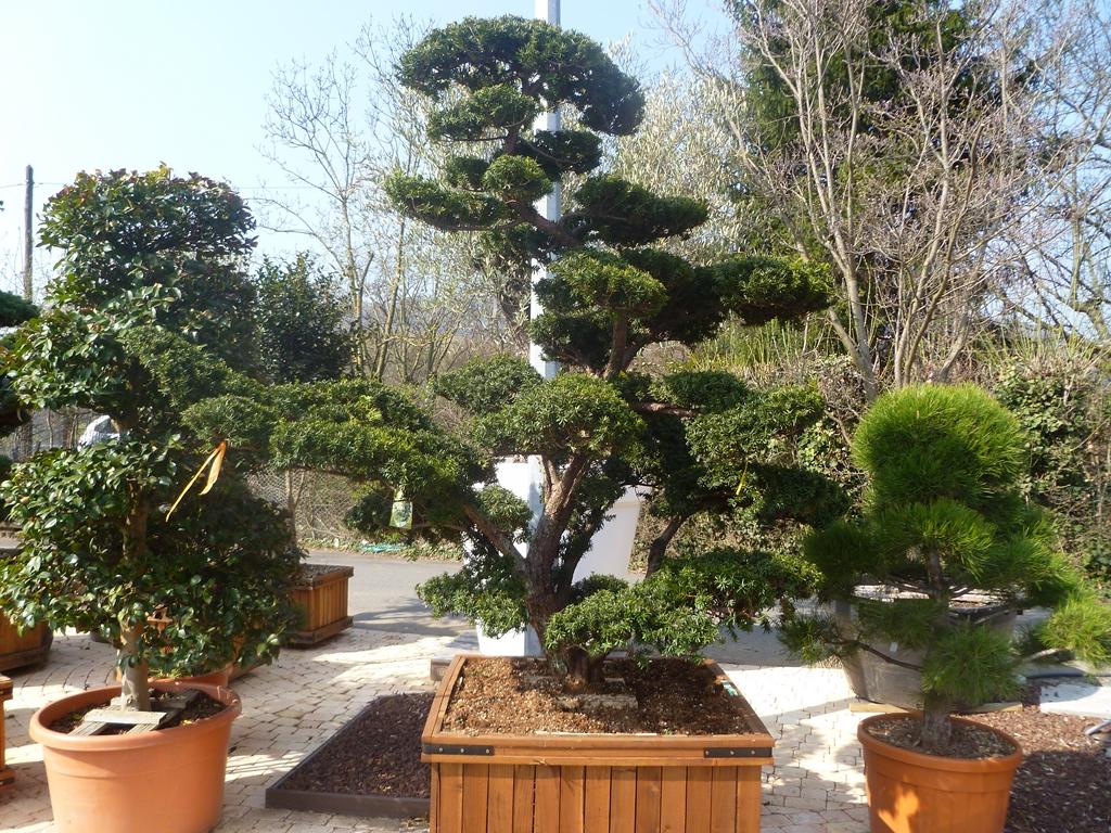 Pepiniere, Arbuste, Erable Japon, Production Villefranche ... intérieur Piscine Pepiniere