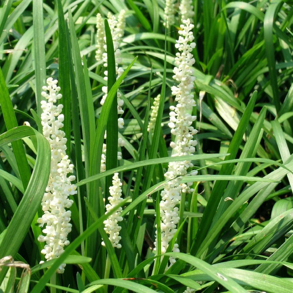 Plantes Vivaces Liriope Muscari 'monroe White' - En Vente ... intérieur Piscine Pepiniere