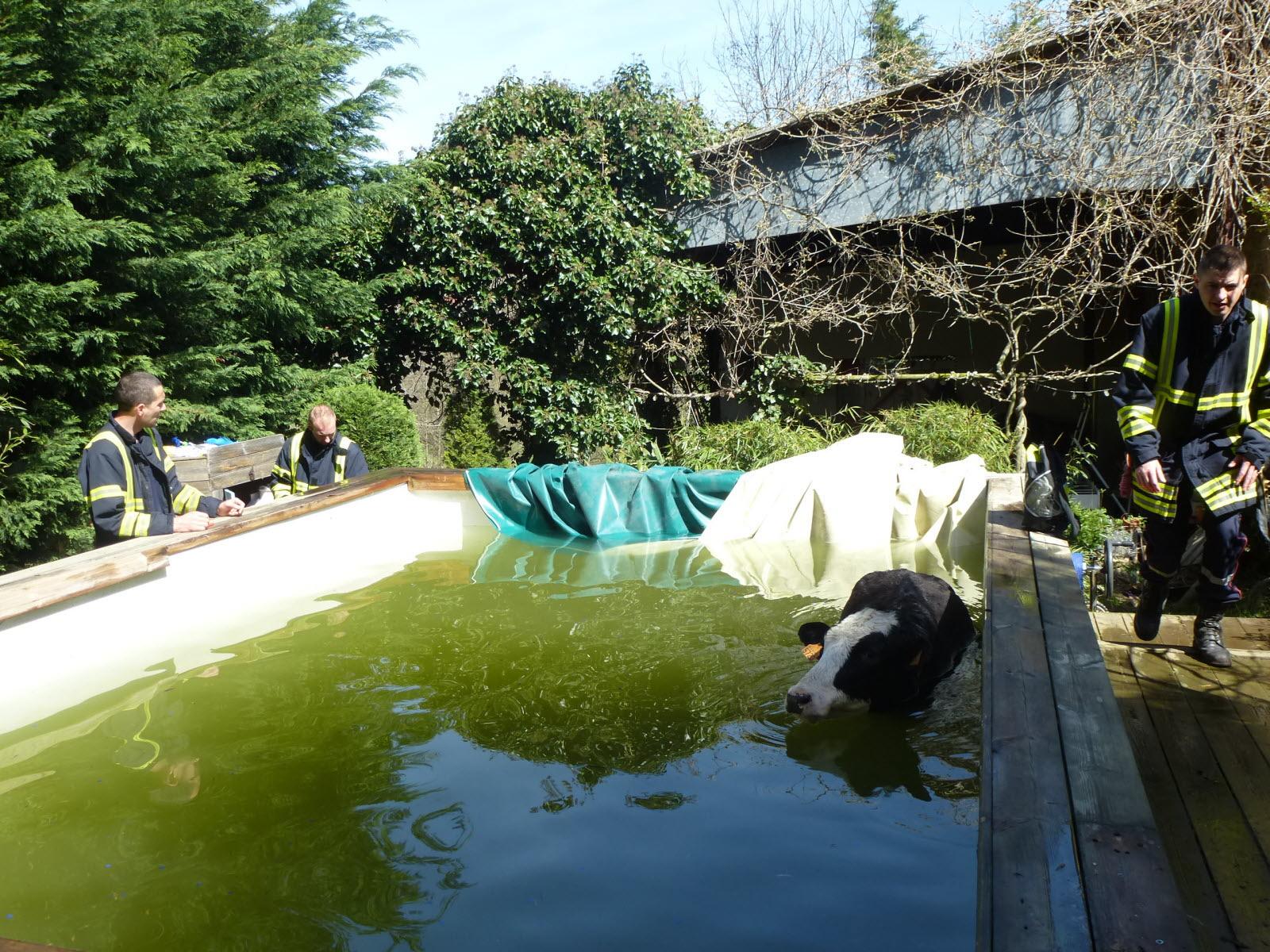 Rhône | Vaugneray: Une Vache Pique Une Tête Dans Une Piscine intérieur Piscine Vaugneray