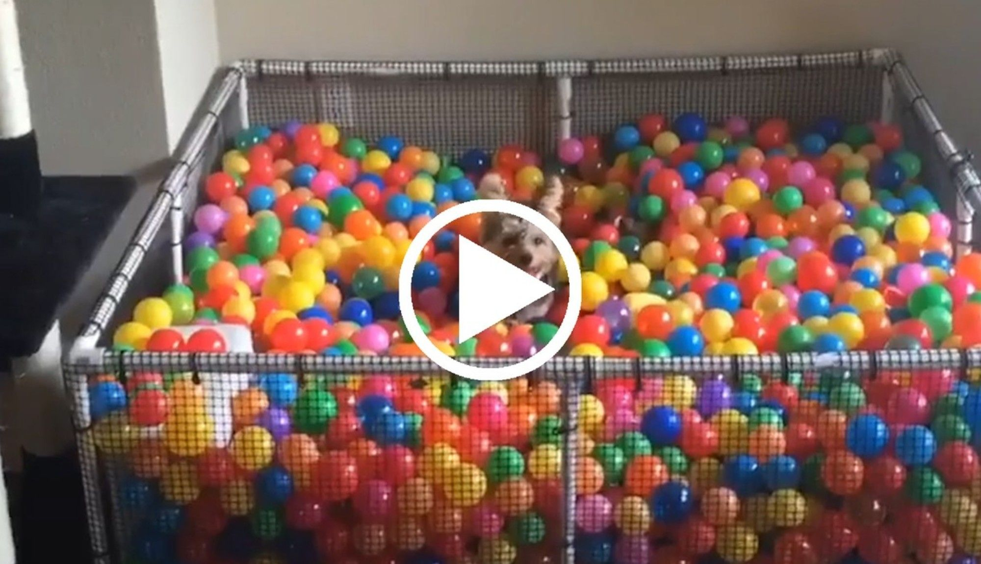This Dog Really Loves Balls | Ball Pit For Dogs, Pit Dog ... encequiconcerne Piscine A Balle Toysrus