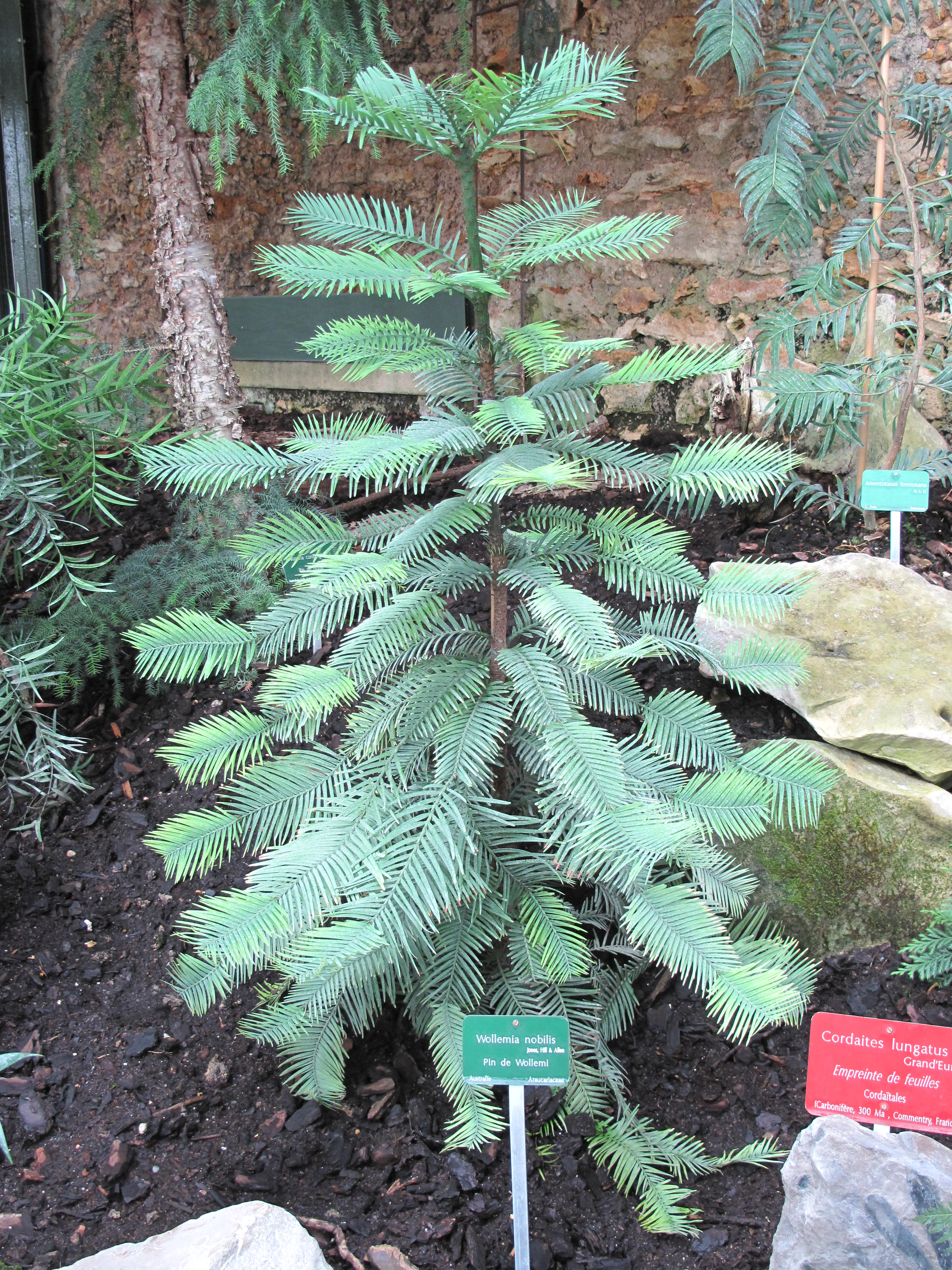 File:wollemia Nobilis (Jardin Des Plantes De Paris).jpg ... serapportantà Allae De Jardin